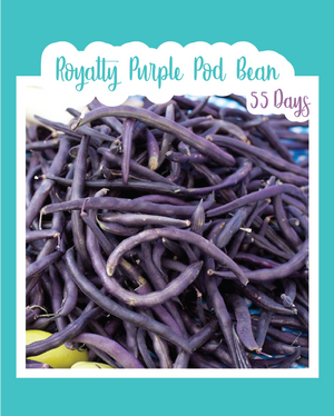 Royalty Purple Pod Bush Bean