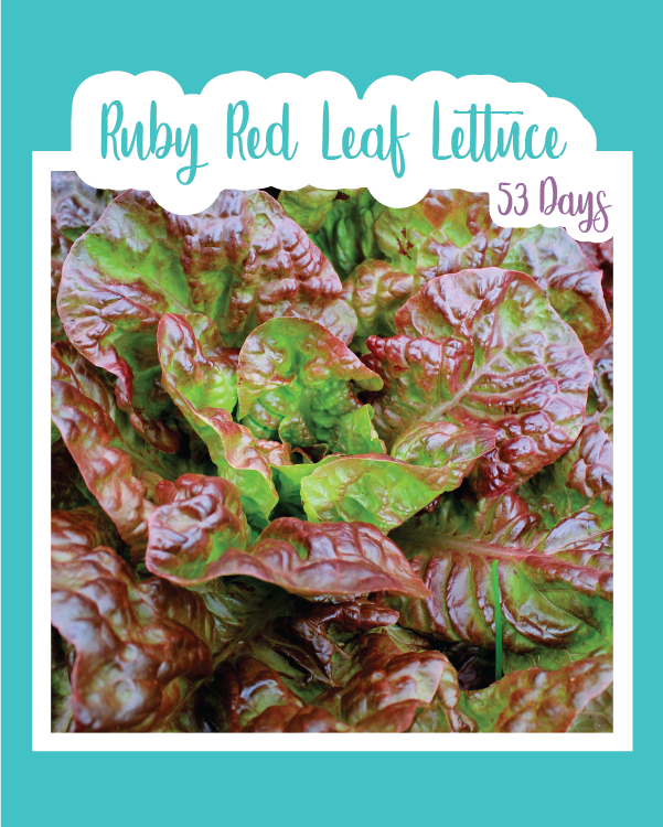 Ruby Red Leaf Lettuce Microgreens