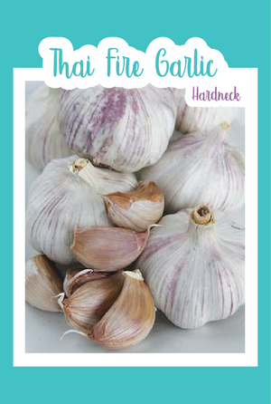 Thai Fire Garlic (Hardneck)