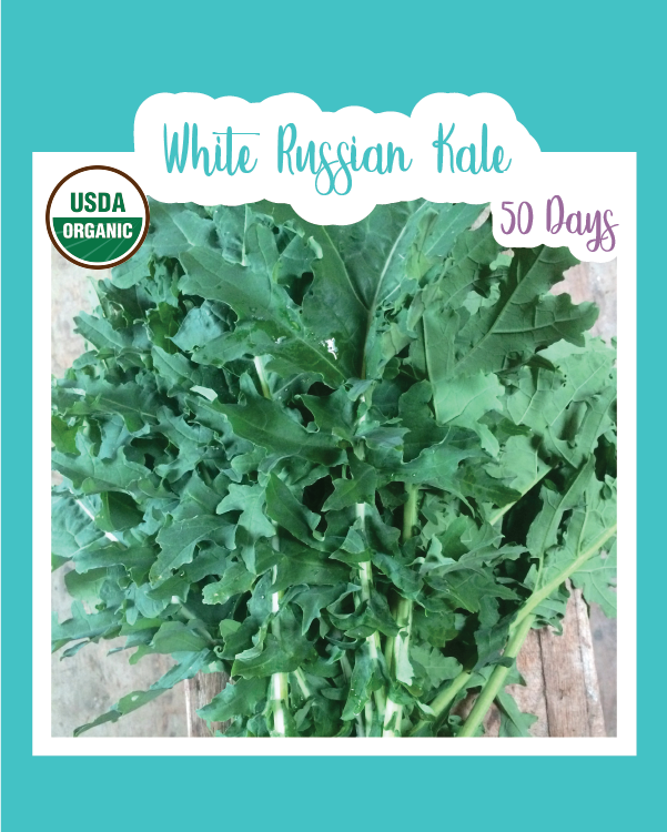 White Russian Kale