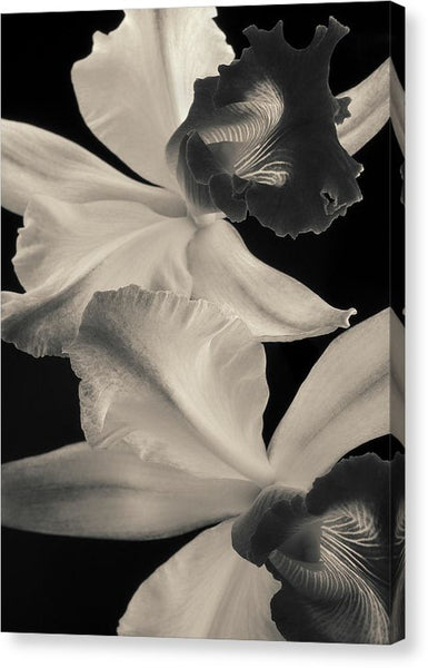 Cattleya Orchids #2 - Canvas Print
