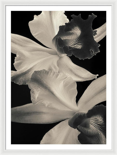 Cattleya Orchids #2 - Framed Print