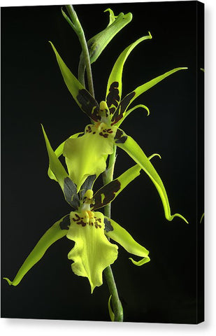 Brassidium Orchids #2 - Canvas Print