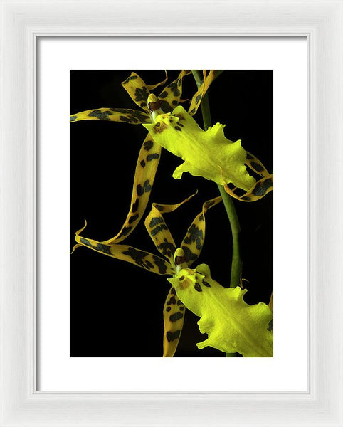 Brassidium Orchids #3 - Framed Print