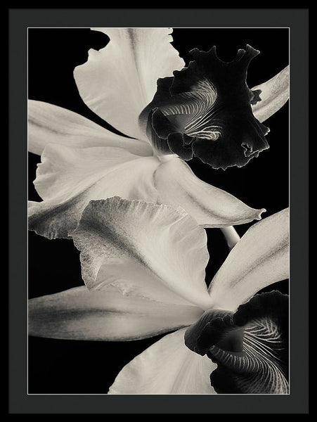Cattleya Orchids #1 - Framed Print