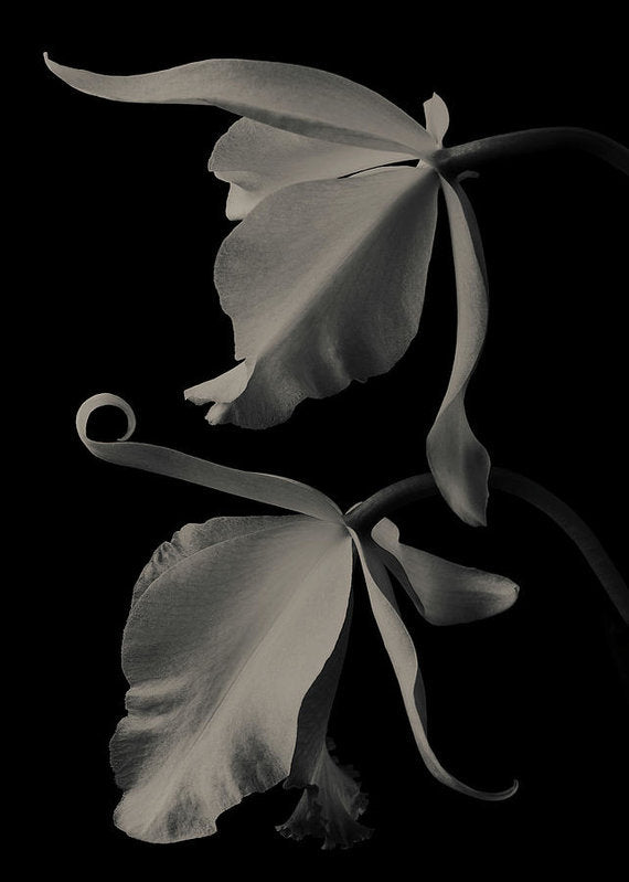 Cattleya Orchids #2 - Art Print