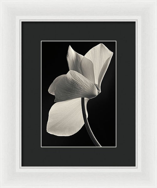 Cyclamen #4 - Framed Print