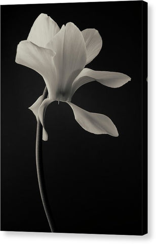 Cyclamen #5 - Canvas Print