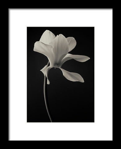 Cyclamen #5 - Framed Print