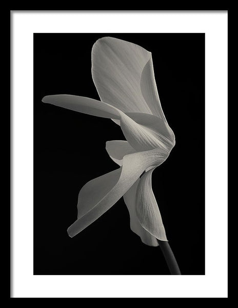 Cyclamen #9 - Framed Print
