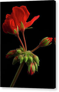 Geraniums #2 - Canvas Print