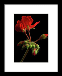 Geraniums #2 - Framed Print
