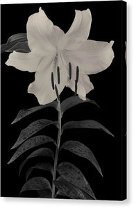 Lily #1 - Canvas Print