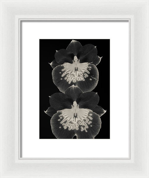 Miltoniopsis Orchids #3 - Framed Print