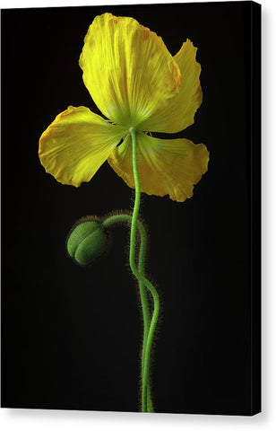Poppies #7 - Canvas Print