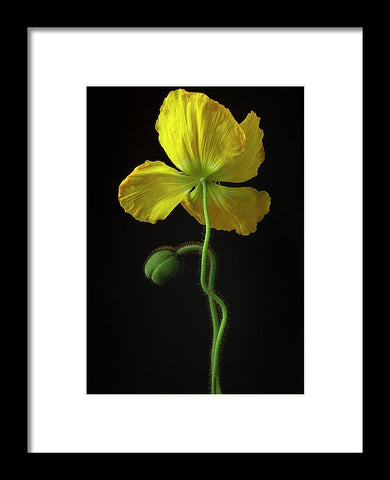 Poppies #7 - Framed Print