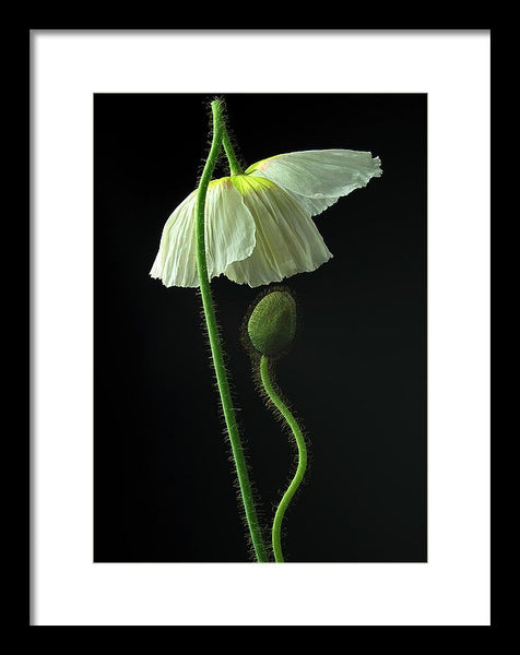 Poppies #8 - Framed Print