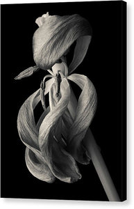 Wilted Tulip - Canvas Print