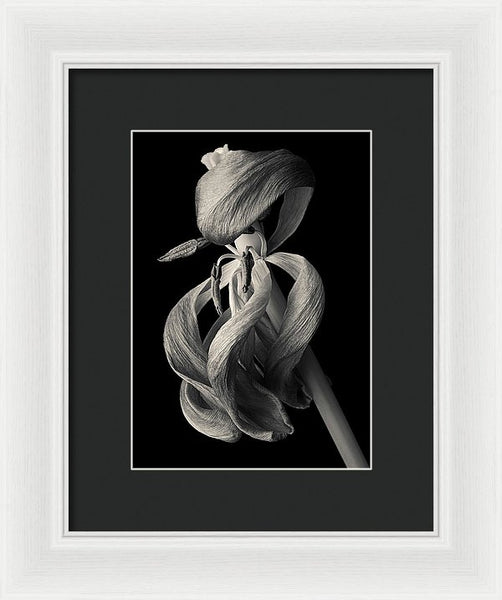 Wilted Tulip - Framed Print
