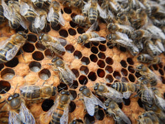 Beehive Frame Brood