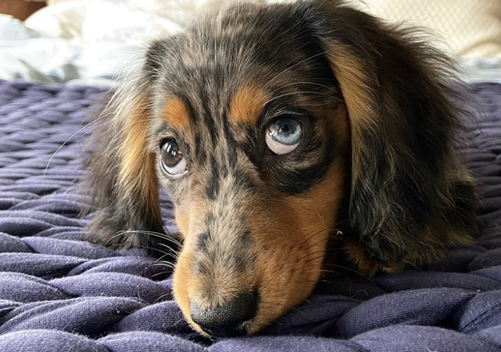 two color eyes dog