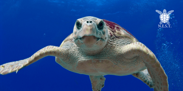 SAVE OUR SEA TURTLES (N.E.S.T.) | Beach Treasures in Duck