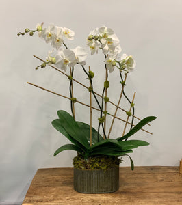 Orchid - quadruple with bamboo