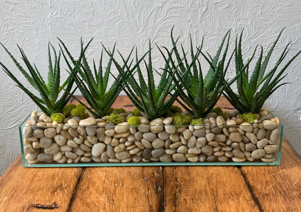 Aloe in Glass Planter