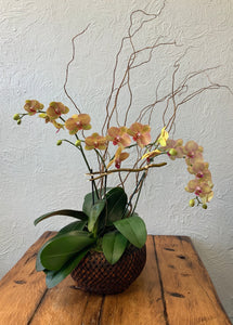 Orchid - double in woven basket