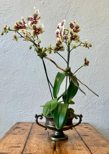 Orchid double in brass urn