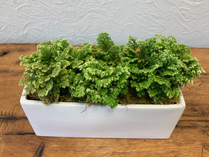 Selaginella in white ceramic
