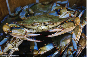 A Beginner's Guide to Catching Blue Crabs