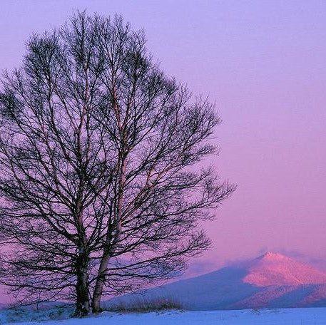 Image from Barry Lobdell's photo card Whiteface in Winter. Large bare tree in foreground with pink and purple snow-covered Whiteface Mountain in the background below a pale purple sky