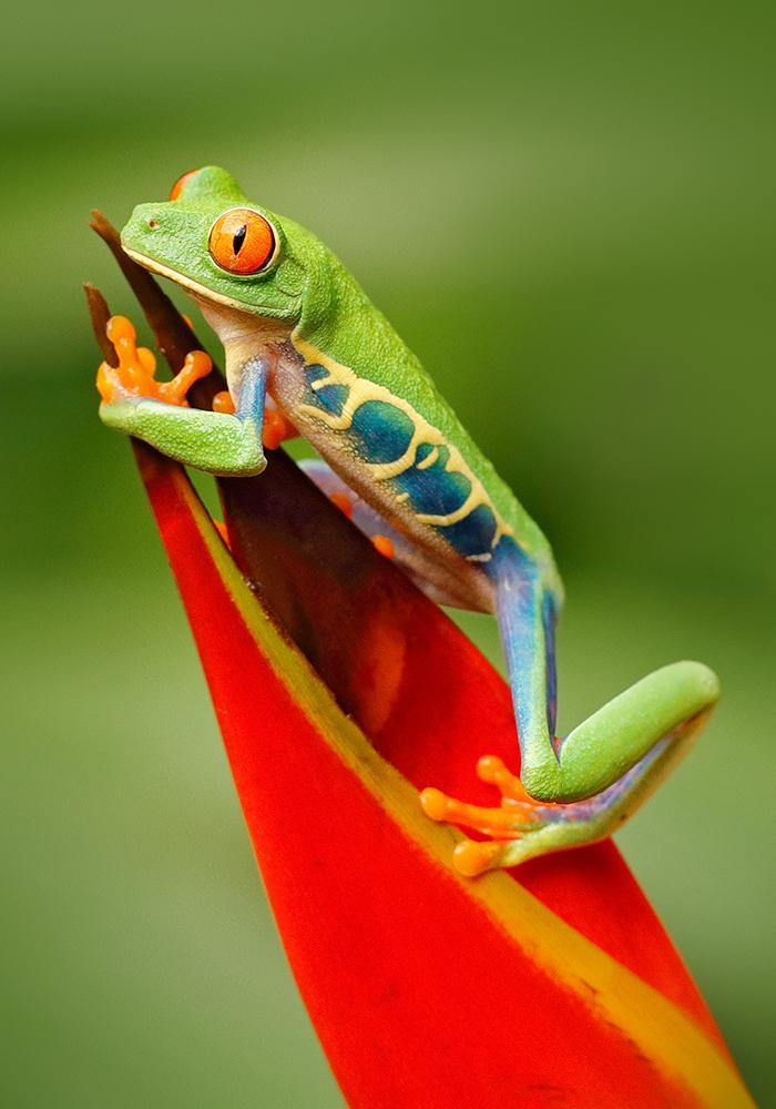 Red-Eyed Tree Frog Painting Kit - ThePaintingSociety.com