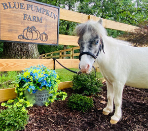 Blue Pumpkin Farm Mini Therapy Horses