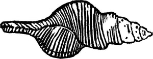 Lino Print  Spindle Shell - Family Fasciolariidae
