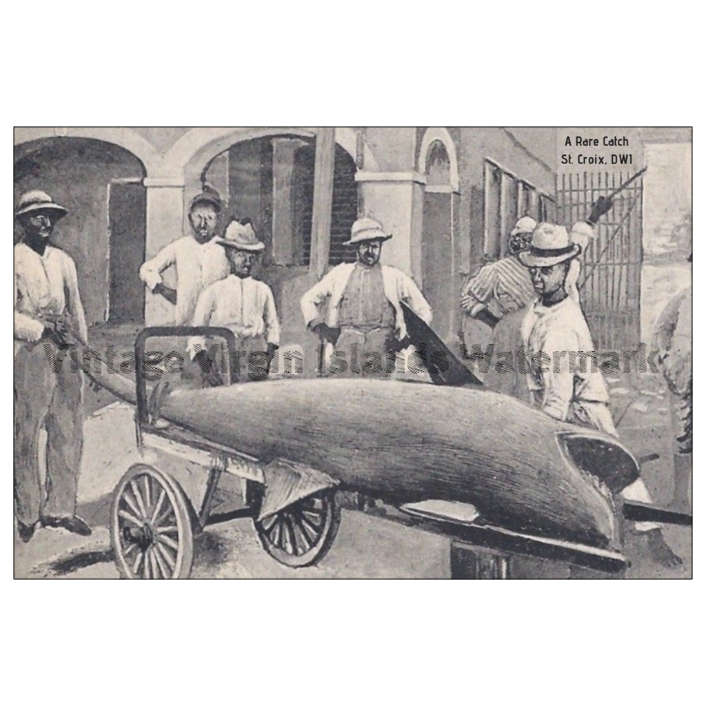 A Rare Shark Catch ~ St. Croix Postcard - Vintage Virgin Islands
