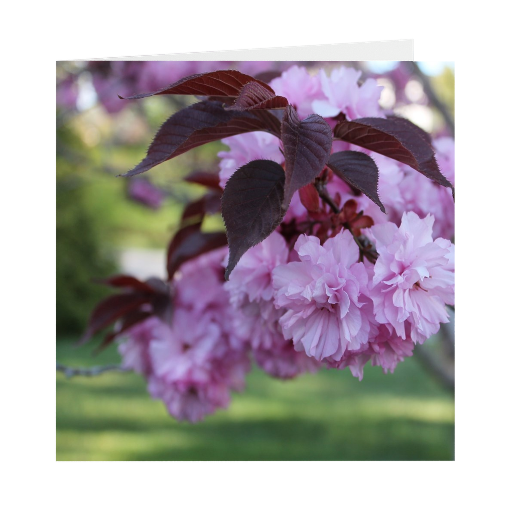 CHERRY BLOSSOMS WITH LEAVES