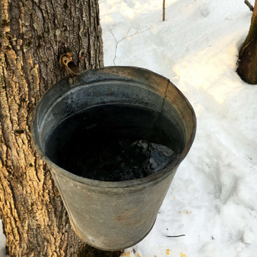 Sap collection using the tap and bucket method
