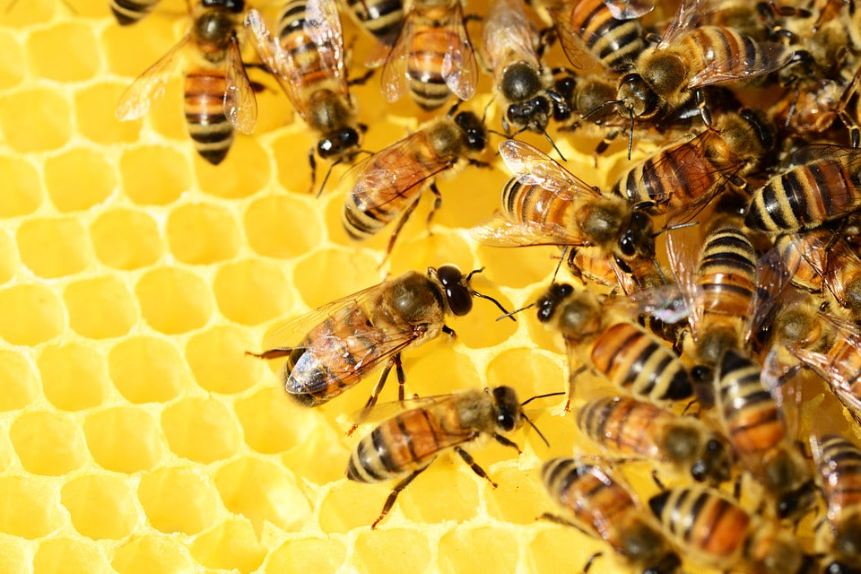 Can Bees Make Cannabis Honey?