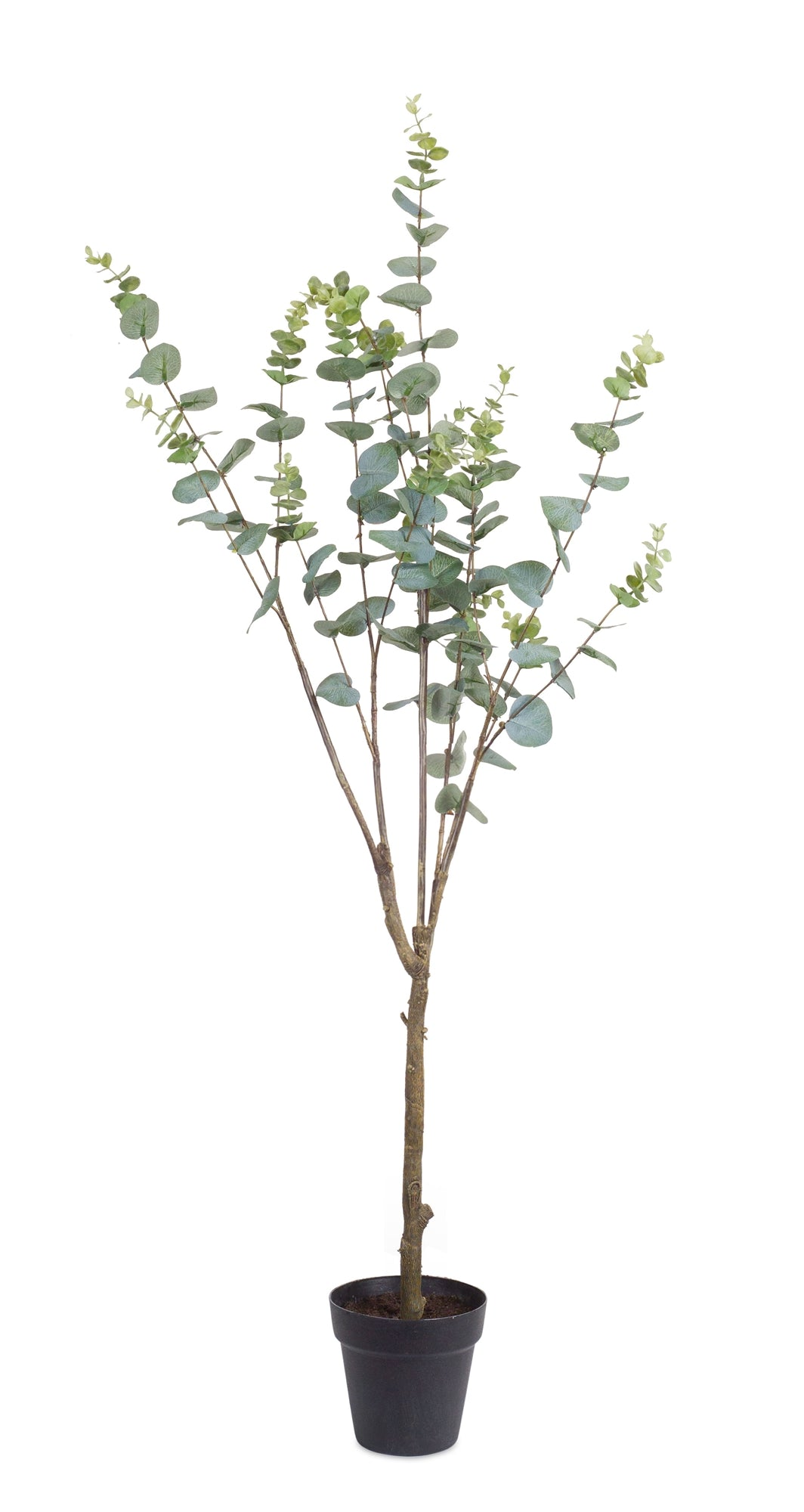 Potted Eucalyptus - 48