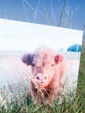 Emmett; Highland Cow Calf; fluffy cow photo on wood box