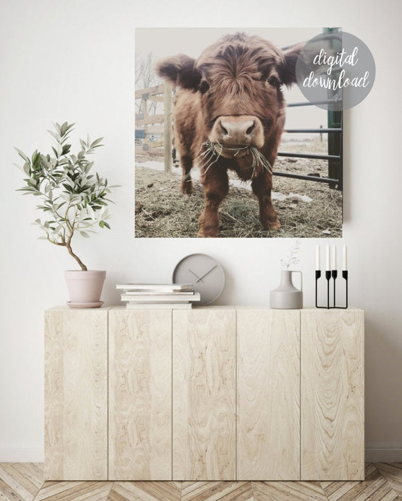 Highland Cow Print; Fluffy Cow Photo; Digital Download 11