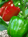 Capsicum Green Red