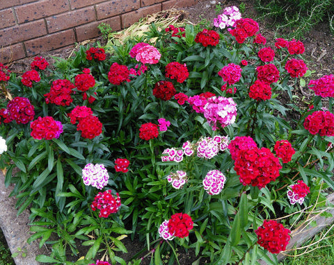 Sweet William Summertime