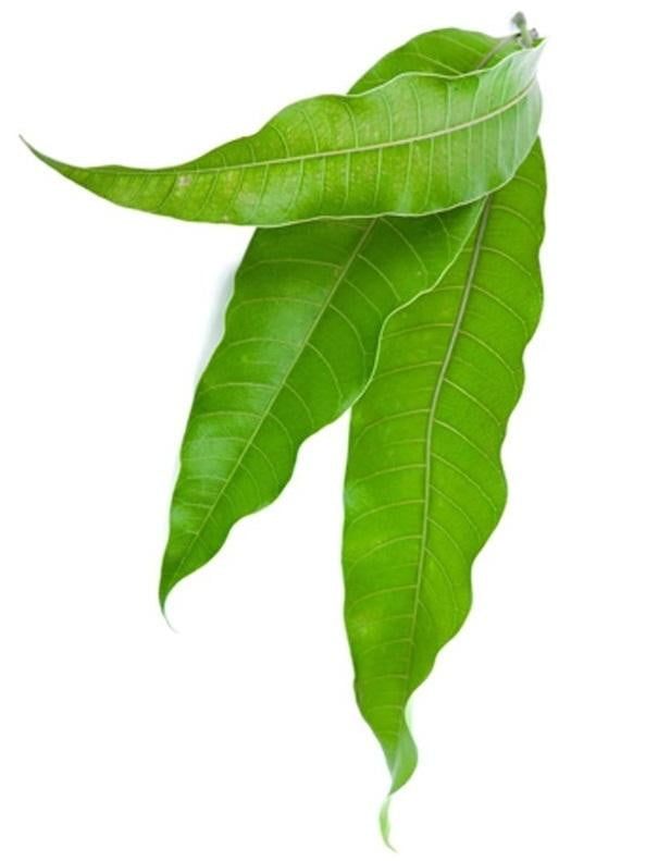 Mango Leaves 10 Pieces