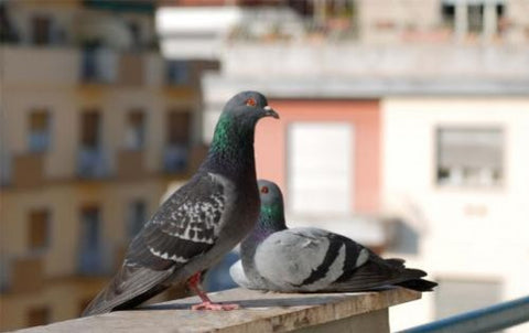 PIGEON CONTROL METHODS