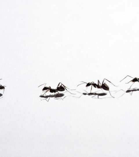 TIPS TO PREVENT ANTS FROM ENTERING INTO YOUR HOME