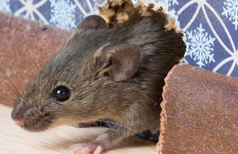 HOW TO GET RID OF MICE AT HOME ONCE AND FOR ALL?