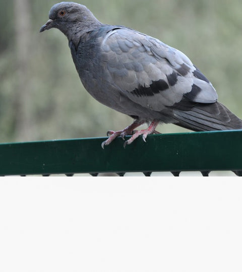 HOW TO GET RID OF PIGEONS FOREVER?